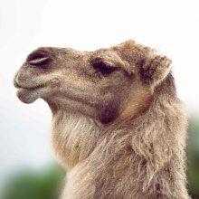 Lama, alpaca, kameel en grote vogels.