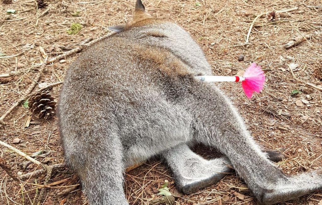 Wallaby vangen en verdoven