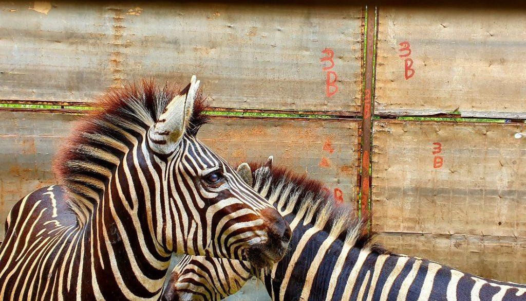 Zebra 1100x700 (2)