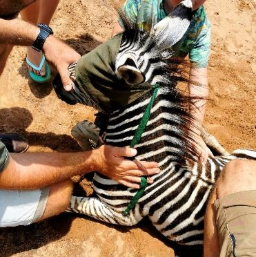 Zebra verdoven vaccineren hoefverzorging