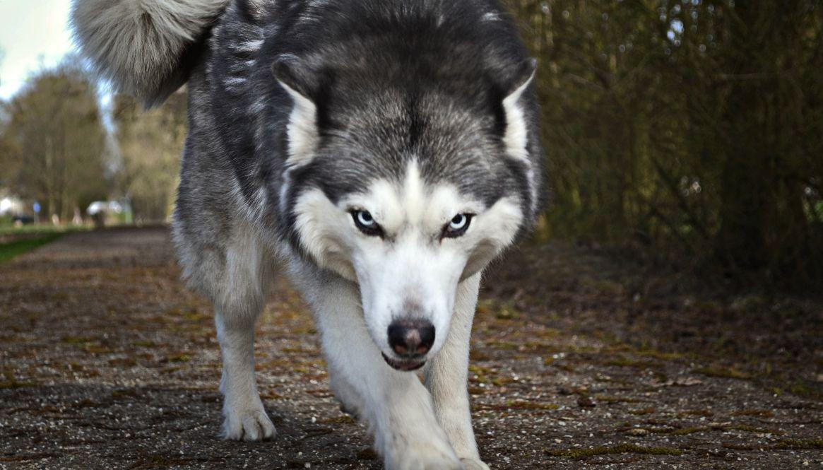 Honden of dieren met een ernstige gedragsproblematiek moeten soms verdooft worden uit veiligheid. Zo kan er diagnostiek, ingrepen of transport gedaan worden.
