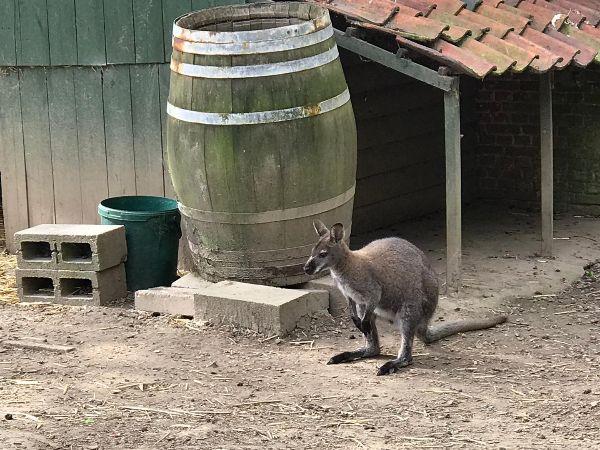 Wallaby verdoven en vangen