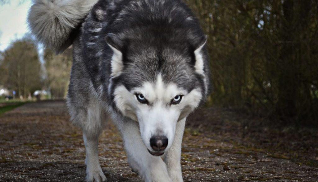 Hond verdoven met blaaspijp